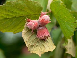 Corylus maxima. Noisetier de Lambert.