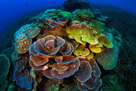 Tropical Reef with Hard Corals, Losin, Thailand