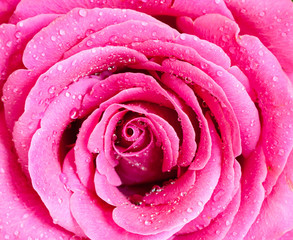 Closeup pink rose.