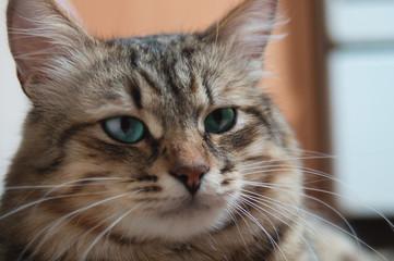Portrait of a striped pedigreed beautiful young big cat closeup.