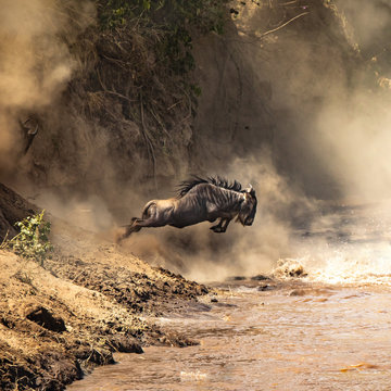 Wildebeest leaps from the bank of the Mara river