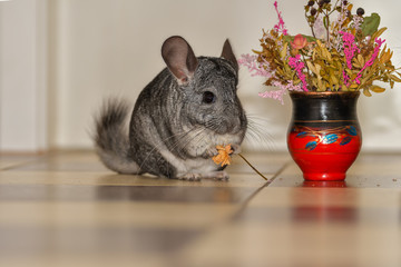 Little gray chinchilla in house