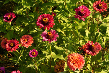 Terry red flowers of zinnia of different shades against the background of green foliage. Beautiful large summer flowers.
