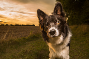 Black and White Border Collie Outdoor in Countryside