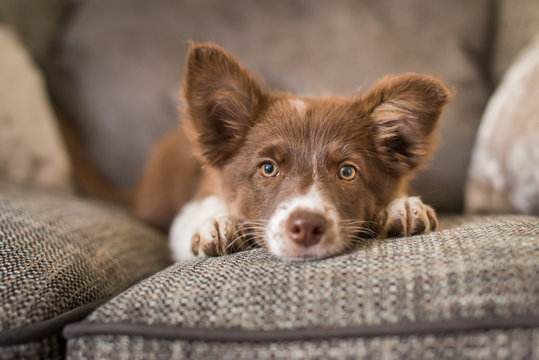 Red and White Border Collie Puppy on Luxury Sofa