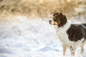 Black and White Border Collie Outdoor in Winter Snow