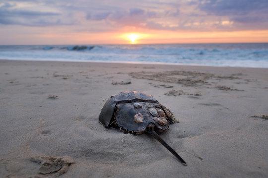Horseshoe Crab Sunrise