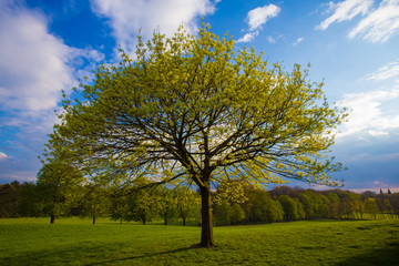 Beautiful solitary fresh tree on green spring season grassland with clouds in blue sunny sky and forest in background