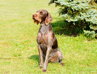 German Wirehaired Pointer in full face.  The Drahthaar seats on the green grass.