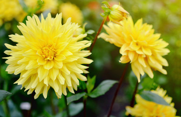 Dahlia in the botanical garden, autumn concept, colorful flower