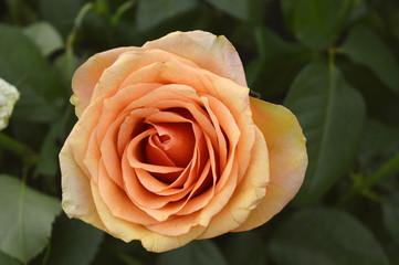 Rose peach flower