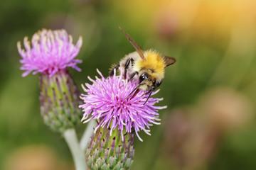 abeille mellifère (apis melifera) sur fleur mauve de chardon butinant pollen