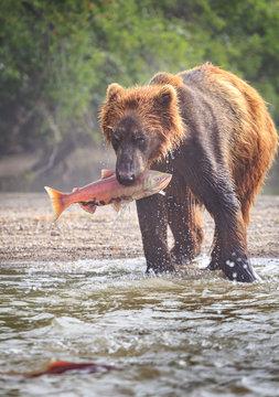 Kamchatka brown bear hunting salmon on the cold water of lake Kurile in wild Kamchatka
