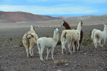 Lamas, San pedro de Atacama, Chili, Chile