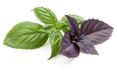 Wall Mural - Close up studio shot of fresh green and red basil herb leaves mix isolated on white background. Sweet Genovese basil and Purple Dark Opal Basil.