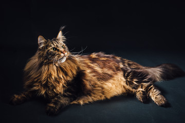 Wall Mural - Maine Coon cat on black background