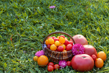 Colorful tomatoes, Cherry tomatoes in basket on grass. Place for text.