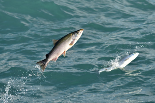 Seward Silver Salmon