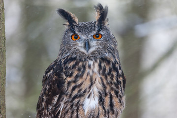 Colour landscape images of a Eurasian Eagle Owl photographed in flight and perched during winter in Canada.
