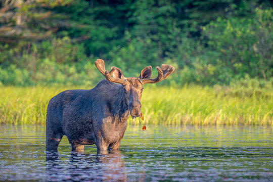 A large majestic bull moose with soft antlers standing in the shallow clam water at the edge of a lake eating lily pads just after dawn in the early morning light. Algonquin Park, Ontario, Canada