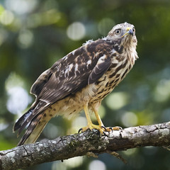 Broad Wing Hawk vs Wasp