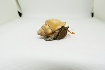 Hermit crab isolated on white background, Land hermit crab.