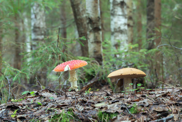 Fly agaric, Amanita muscaria and bolete in mixed natural forest