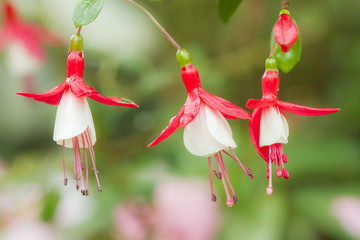 Fuchsia hybrids in the garden