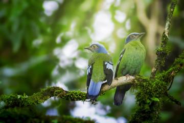 Bird in nature,Flapper Green Cochoa (Viridis)