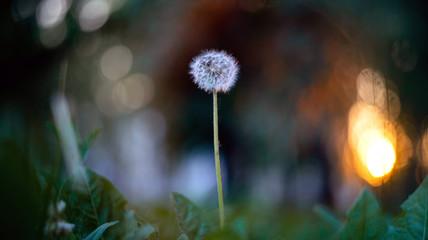 Macro of a single white dandelion in nature.
