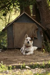 A small white dog on a chain guards his house