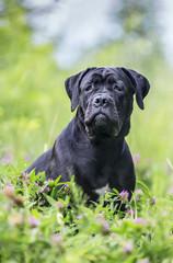 Portrait of a cane corso dog outdoors.
