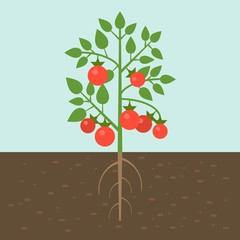 tomato plants, vegetable with root in soil texture, flat design