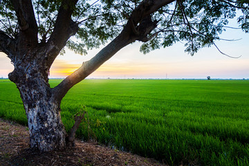 Rice Fields, Sky and Trees in Twilight Background and wallpaper