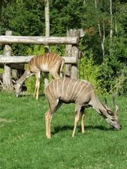 Canvas Prints Antelope antilope