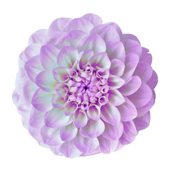 flower amethyst (lilac) white dahlia isolated on white background. Close-up. Nature.