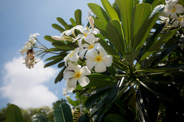 Frangipani flower white and yellow plumeria on a sunny day with blue sky background