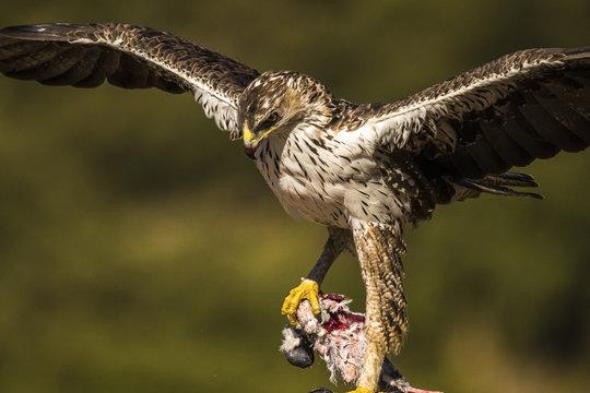 Bonelli Eagle (Auila fasciatus) male with prey