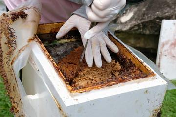 transfer stingless honey bees to new beehive. trigona meliponini colonies mass rearing