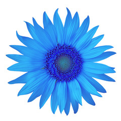 flower blue azure sunflower, isolated on a white  background. Close-up.  Nature.