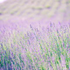 Beautiful lavender flowers closeup background. Vintage photo filter used.