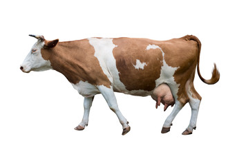 Photo sur Aluminium Vache Redhead with white spots of a cow of milk breed. Isolated.