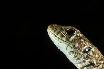 Ocellated lizard (Timon lepidus) head details, low key