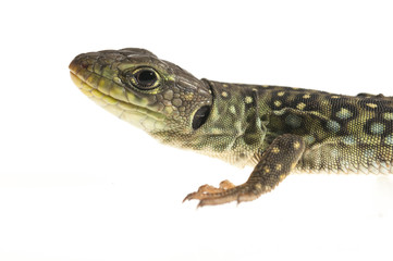 Ocelated lizard (Timon lepidus) high key, portrait