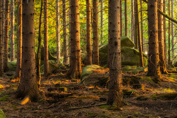 Spruce Tree Forest with big rocks in the last light of the evening sun