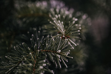 Dark green pine tree branch