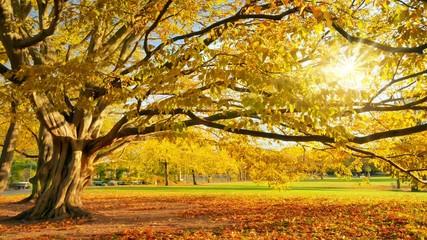 Wall Mural - Goldener sonniger Herbst in einem Park