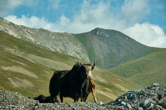 Taldyk Pass, Yaks graze