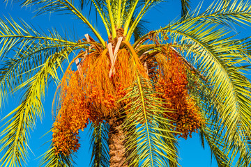 Beautiful date palm tree in front of blue sky with edible sweet fruits