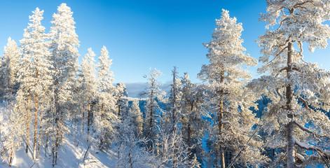 Wall Mural - Forest landscape, frozen trees in winter in Saariselka, Lapland, Finland